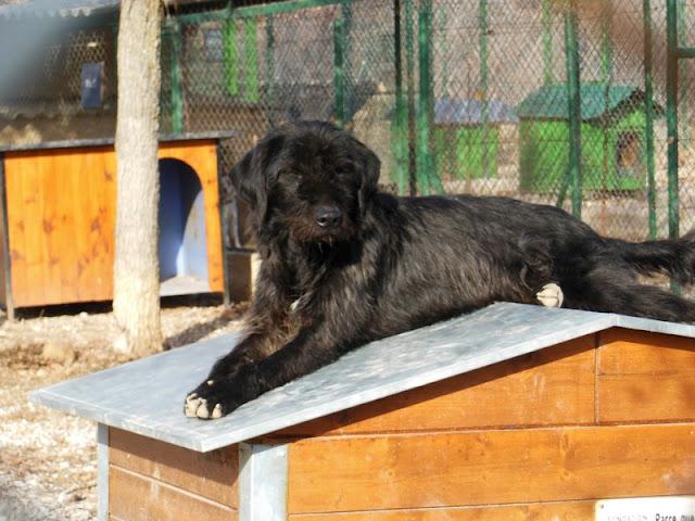 FILOU  - croisé Griffon / Labrador 11    ans (9 ans de refuge) -  Refuge de SISTERON  (04) DSCN2698