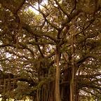 Bajo el árbol de Guacarí