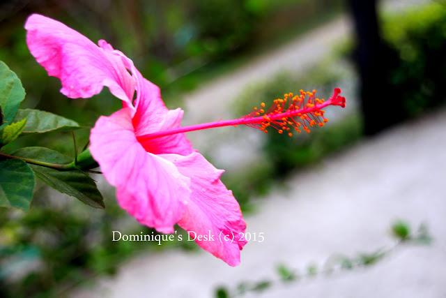 A pink hibicus