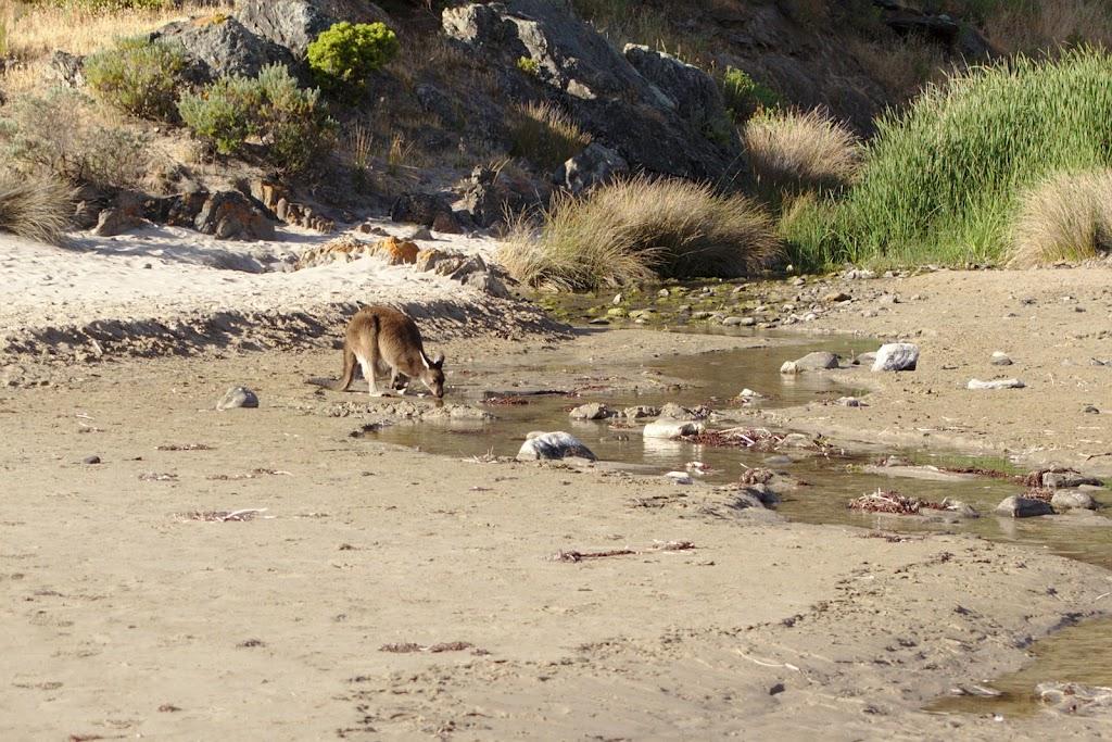 kangur na plaży