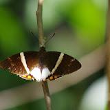 Castniidae : Telchin licus STRAND, 1913. Premier layon, Patawa (Montagne de Kaw), 23 octobre 2012. Photo : J.-M. Gayman