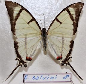 E. SALVINI.JPG