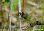 Grøn smagradlibel, Rytterbjerget, ved Kongskilde, Sorø 6-6