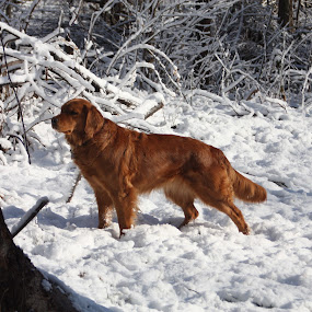 Penelope Pausing by Ellee Neilands - Animals - Dogs Portraits ( canine, winter, pet, snow, dog, golden retriever, animal snow  )