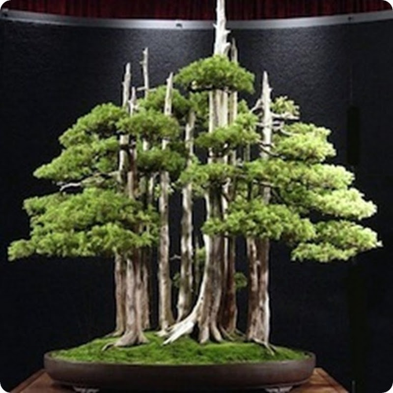 Top 10: Greatest Bonsai Trees.
