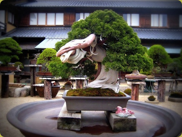 oldest-juniper-bonsai