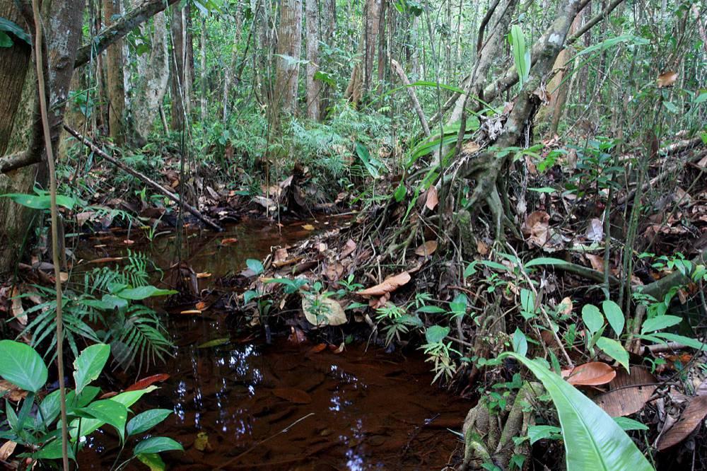 Лесные ручьи с илистым дном и листовым опадом - места характерные для криптокорин 2 группы. Фото: Д. Логинов.