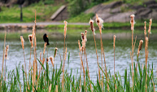 We spy a redwing blackbird among the cattails