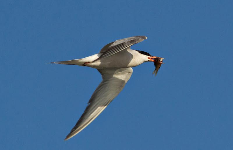Pasari birdwatching caiac Delta Dunarii saraturi murighiol