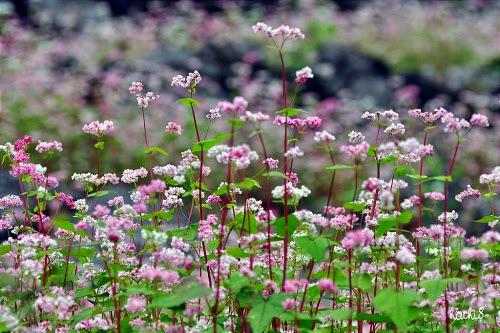 pic014 2i635b4h0f8qm 001 Mùa hoa tam giác mạch lại về trên núi đá hà Giang