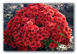 Выращиваем хризантемы