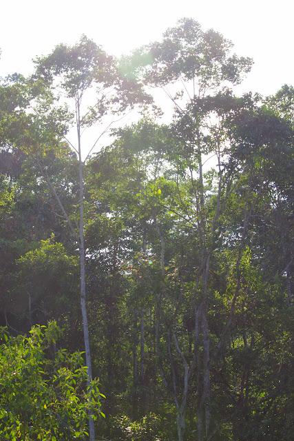 Forêt de Tunda Loma (Calderon, San Lorenzo, Esmeraldas), 28 novembre 2013. Photo : J.-M. Gayman