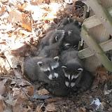 Six young raccoons.