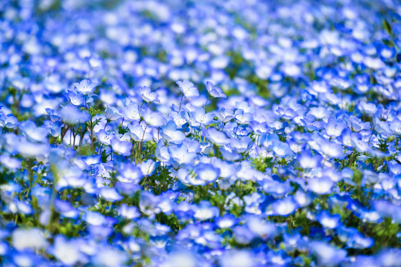 Hitachi Seaside Park Nemophila (baby blue eyes flowers) photo17