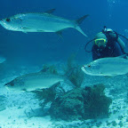 Tarpons (Blue Hole)
