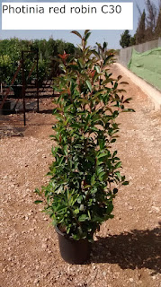photinia fraseri red robin C30
