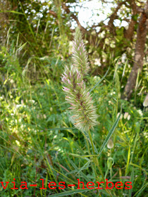 Trefle a feuilles etroite, Trifolium angustifolia.jpg