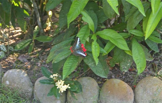 Parthenos sylvia CRAMER, 1776. Jardin du lodge Greenviews à Port Barton, Palawan, 16 août 2005. Photo : Jean-Marc Gayman