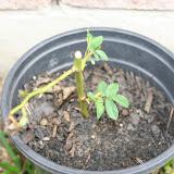 Gardening 2012 - IMG_3313.JPG