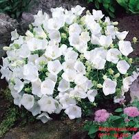 Hoa chuông trắng – Tím