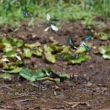 Rassemblement de Pieridae et de Papilionidae : Graphium policenes CRAMER, 1775, Papilio bromius DOUBLEDAY, 1845 (à gauche), et Graphium leonidas FABRICIUS, 1793 (au centre). Berges de la Nyong près d'Ebogo (Cameroun), 8 avril 2012. Photo : J.-M. Gayman