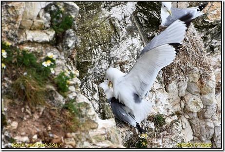 Bempton Cliffs - May