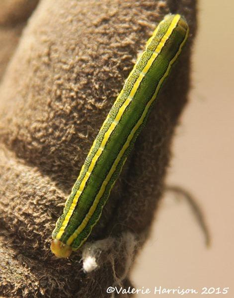 Broom-Moth-caterpillar