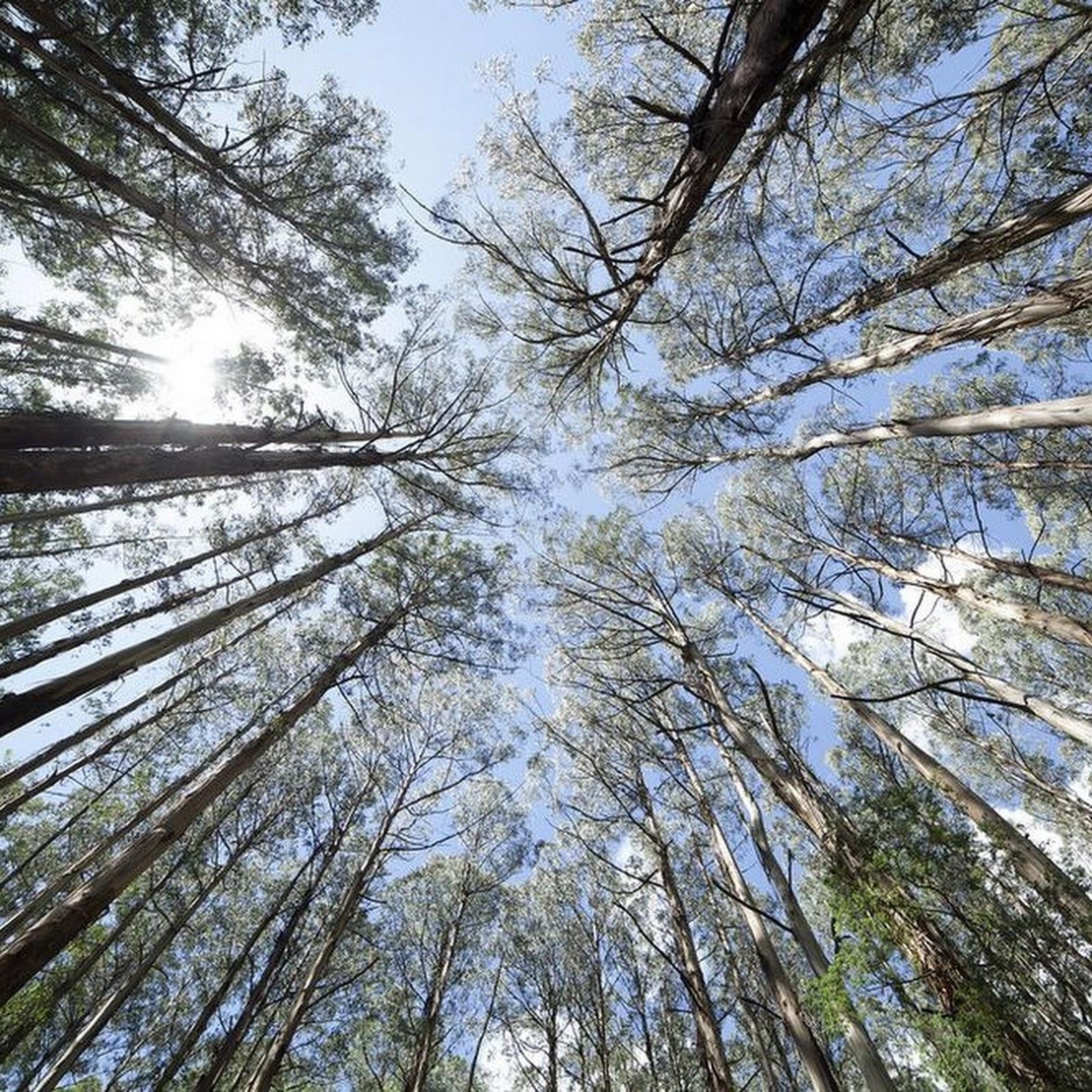 The Giant Eucalyptus of Australia