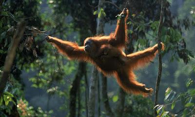 Druženje z orangutani