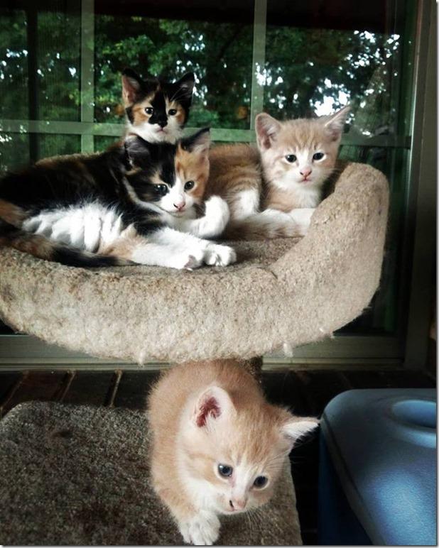 pre adoption kittens #shop #cbias #CelebratingMorris