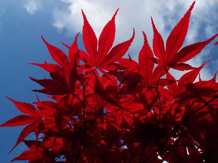 shadows on maple leaves
