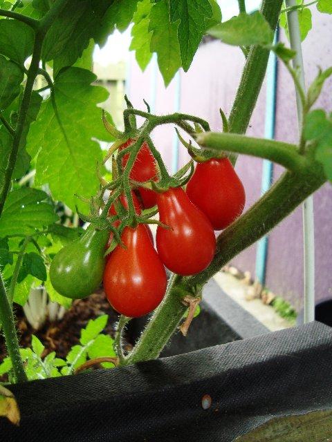 Cà chua bi hình trái lê gây sốt tại Việt Nam - 55c961d323948