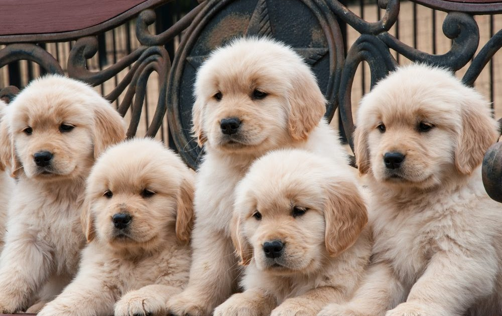 BUY GOLDEN RETRIEVER – MOST FAMOUS CANINE BREEDS