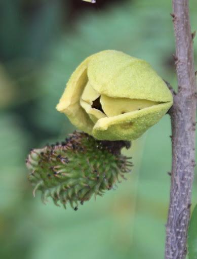 Annona muricata - corossolier IMG_6848