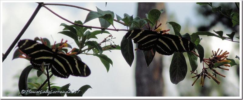 08-23-zebra-longwings