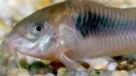 Bronze Corydoras Tank Size, Tmeprature, Lifespan, Diet, Breeding