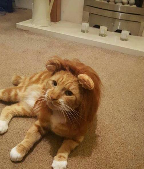 Gato disfrazado de león