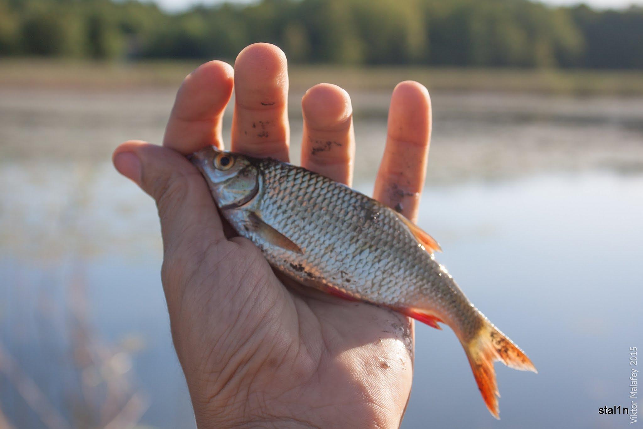 Риба Краснопірка