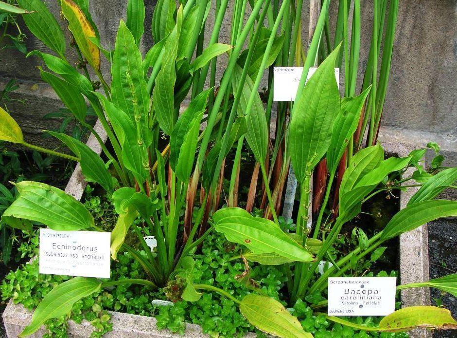 Эхинодорус субалатус (Echinodorus subalatus)