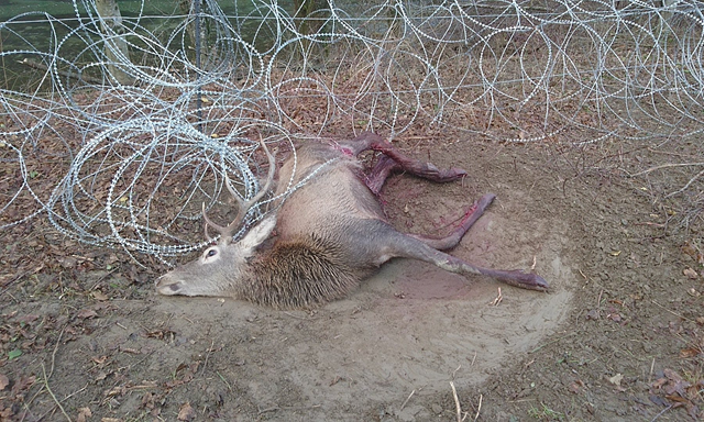A dead deer snagged on a razorwire fence, designed to stop migrants crossing into Europe, in Radenci in Slovenia. The death toll of animals killed by the fence is mounting, amid warnings that bears, lynx, and wolves could become locally extinct if the barrier is completed and consolidated. Photo: Martin Lindic