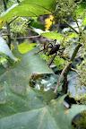Cricket in The Cloud Forest (Manu National Park, Peru)