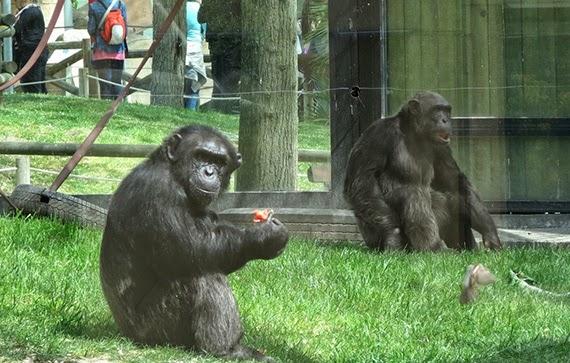 Crece la familia de chimpancés de Zoo de Madrid con la llegada de tres ejemplares