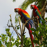 Aras. Saül (Guyane). 30 novembre 2011. Photo : J.-M. Gayman