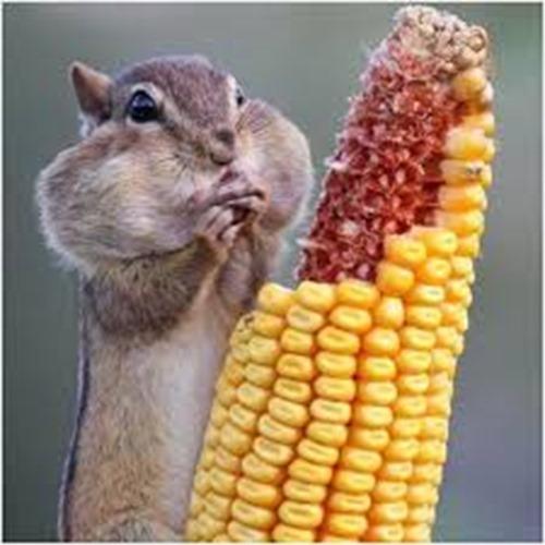 chip worshipping the corn god