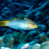 Wrasse, Solomon Islands