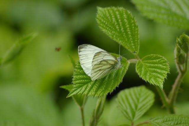 Pieris napi napi LINNAEUS, 1758, mâle, en forêt. Les Hautes-Lisières, 8 mai 2009. Photo : J.-M. Gayman