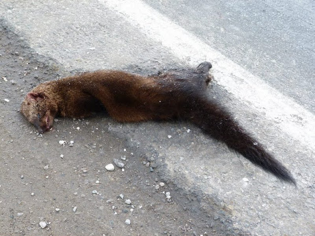 Dead Fisher near Peterborough (Sherry Hambly)