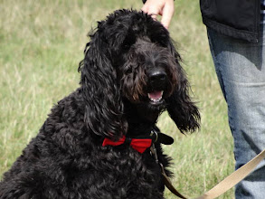 Photo: Ralph Labradoodle