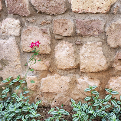 low border of plants with green and white striped leaves in front of a stone wall. a tall thorn stemmed star-shaped flower cluster leans in to the shot from the left.