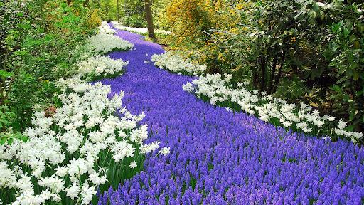 Spring Flowers, Keukenhof, Lisse, Netherlands.jpg